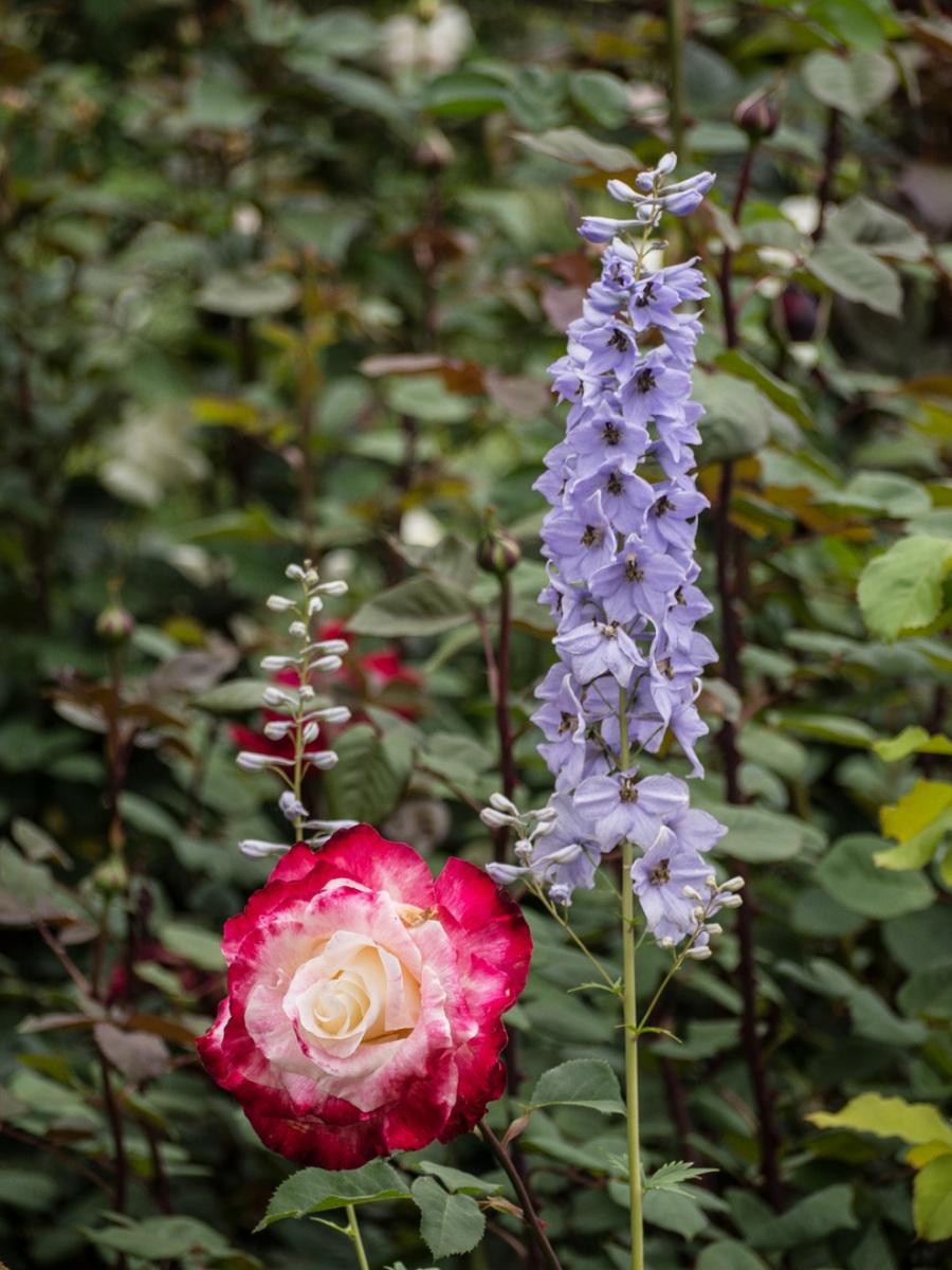 Rosa y lirio